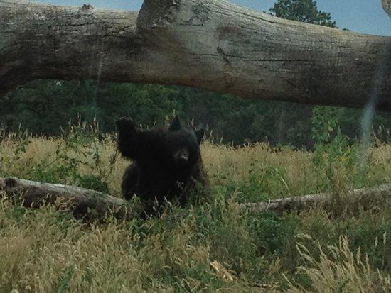 "Bear Country USA: Saying, ""Hi"""