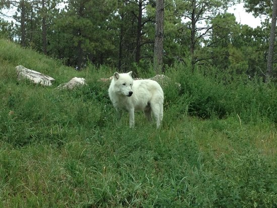Bear Country USA: Arctic Wolf