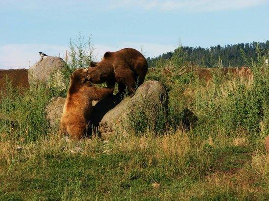 Montana Grizzly Encounter: MGE & JKE (Maggie and Jake)