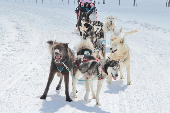 Alpine Adventures Dogsledding: the dogs all eager to get going