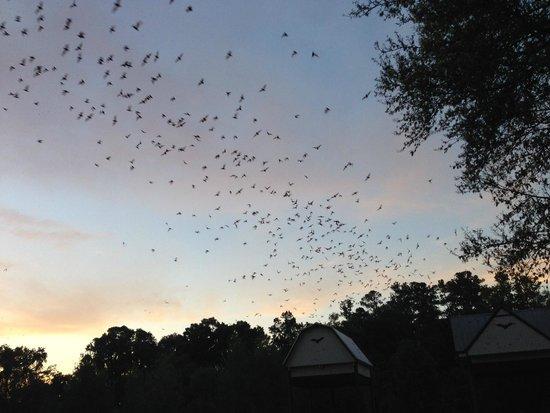 University of Florida Bat House: Bats