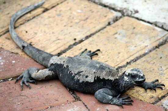 Charles Darwin Research Station: Iguana marinha  no caminho até a estação