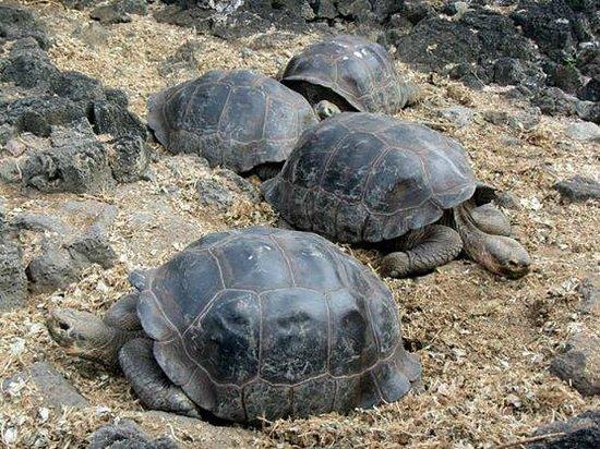 Charles Darwin Research Station: Tartarugas gigantes