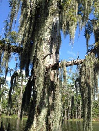 LeBlanc Swamp Tours: La mousse espagnole