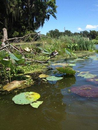 LeBlanc Swamp Tours: Des lotus