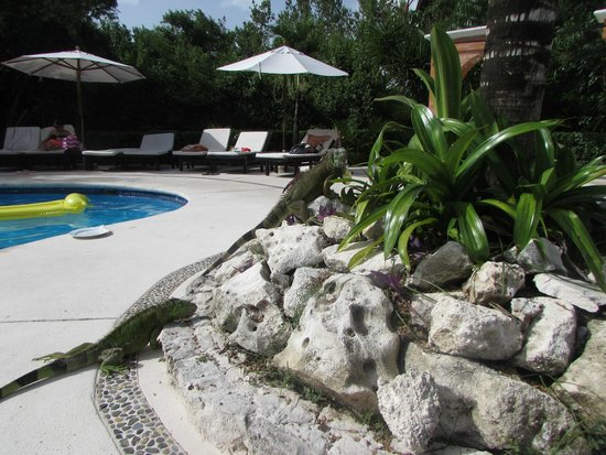 Occidental Cozumel: Iguannas by the pool