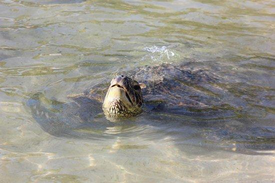 Laniakea Beach: What a cutie!