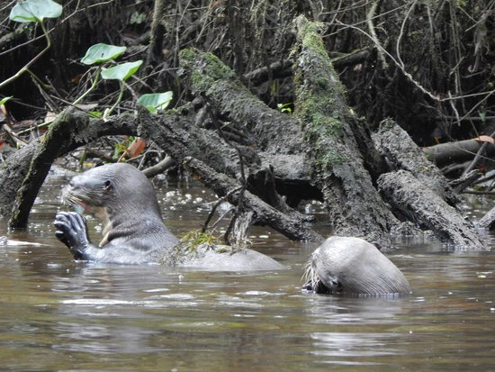 Napo Wildlife Centre: Giant river otters catching fish in the Napo river