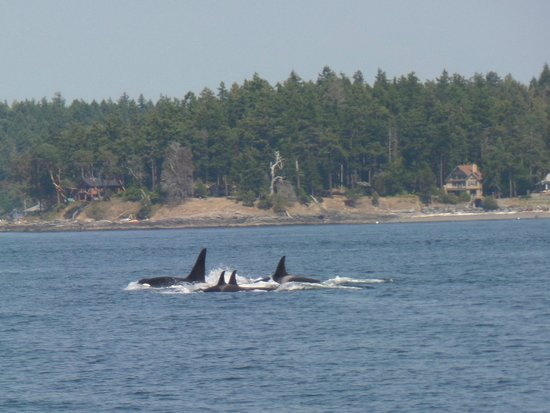 Orcas Island Eclipse Charters : A family of orcas