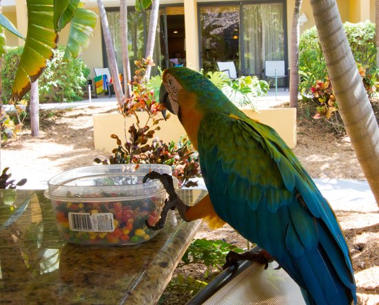 Hampton Inn Key Largo: Mango the Parrot