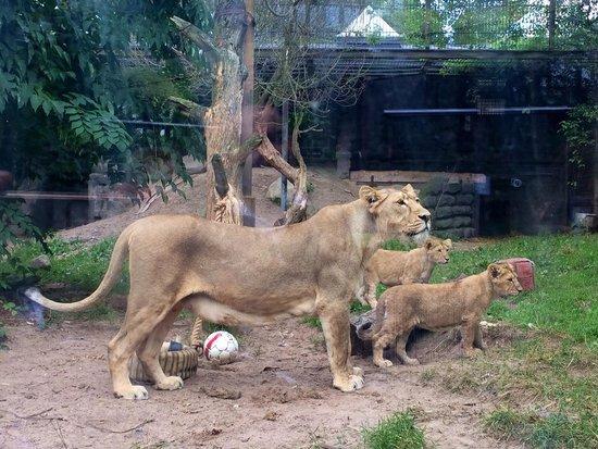 Helsinki Zoo: Leone