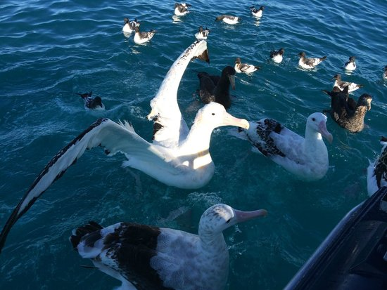Albatross Encounter: Albatross