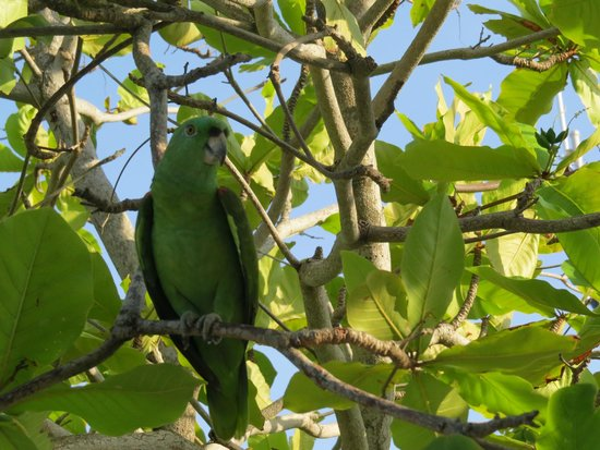 Barefoot Cay: Resident parrot-Chacaroon. He provides a great deal of entertainment!