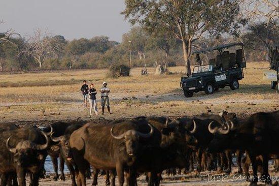 Bomani Tented Lodge: Just a few Cape Buffalo