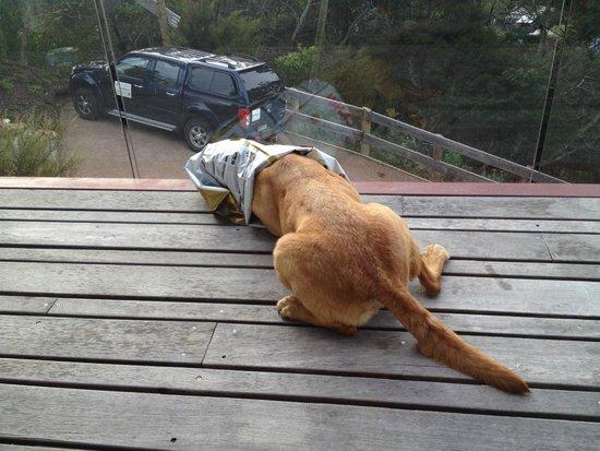 เกาะไวเฮเก, นิวซีแลนด์: 'Guide' dog in training