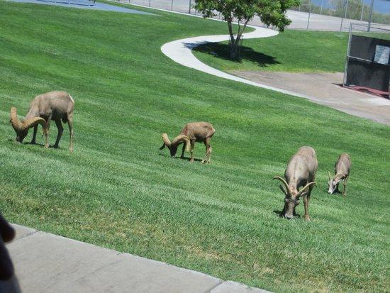 SWEETours, Inc.: Bonus! Bighorn sheep!