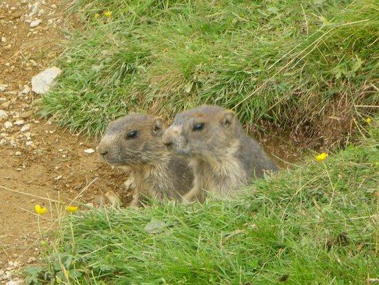 The Kohlmais mountain Marmots