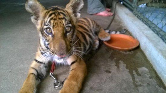 Safari Park Open Zoo : Baby Tiger