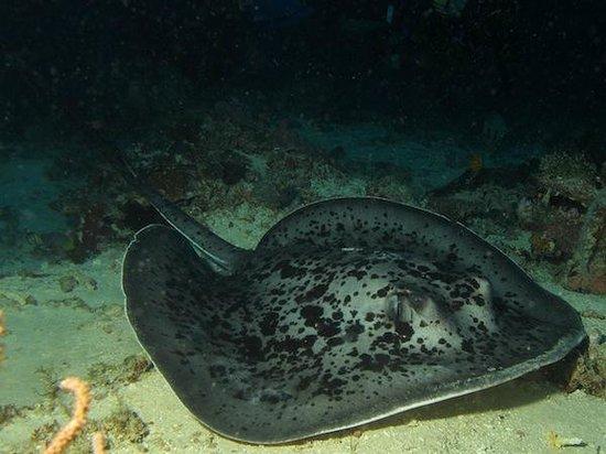 Dive Timor Lorosae: Marble Ray