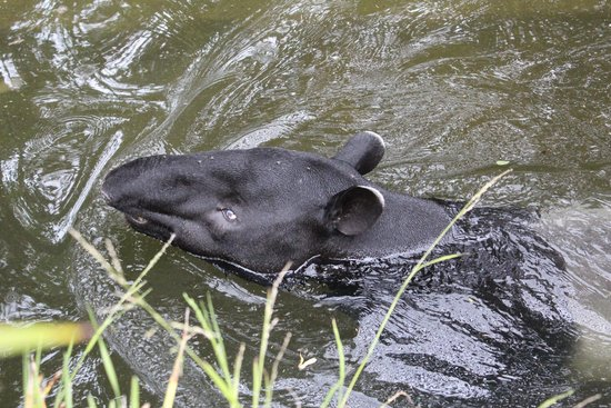 Taronga Zoo: Malayan Tapir
