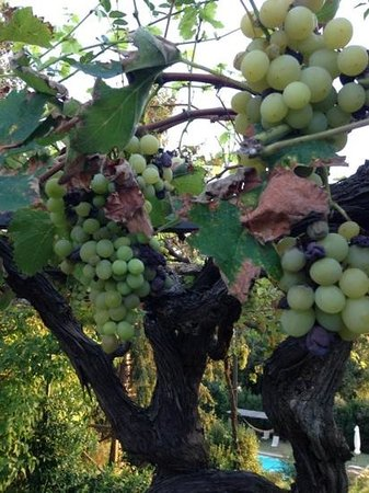 Torre Palombara - Dimora Storica: grapes everywhere