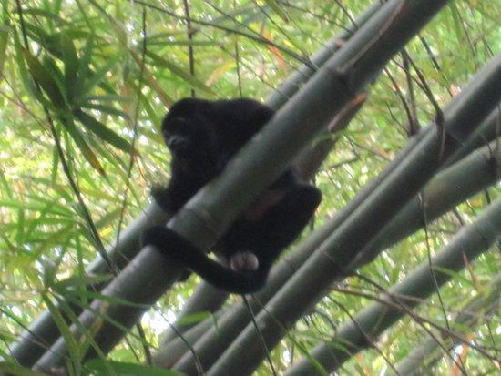 Alby Lodge: mono aullador cercano