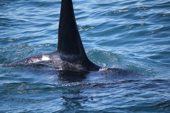 Whale Watch: A pod of Orca's