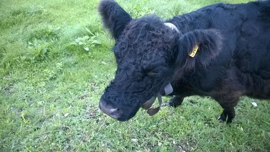 Azienda Agricola Batisti: mucca