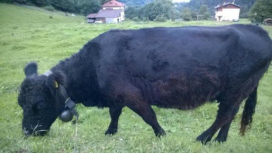 Azienda Agricola Batisti: mucca 2