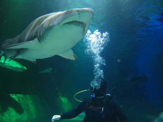 Sand Tiger shark at Kelly Tarlton's Sea Life Aquarium