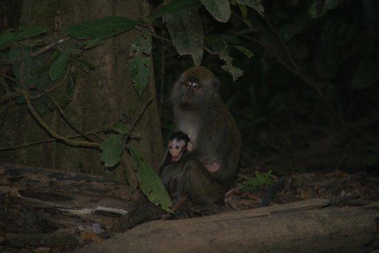 Osman's Homestay: Long tailed makak