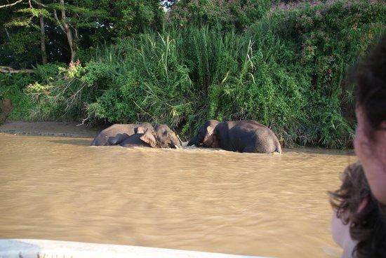 Osman's Homestay: Pygmee Elephants