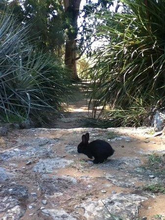 Island of Lokrum: Black Rabbit in the Botanical Garden