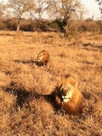 Idube Game Reserve: Lion Brothers