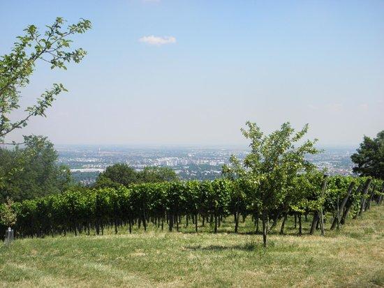 Kahlenberg: vineyards