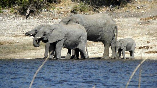 Ichingo Chobe River Lodge - Zambezi Queen Collection : éléphant