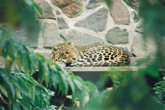 Zoologischer Garten Leipzig: Leopard