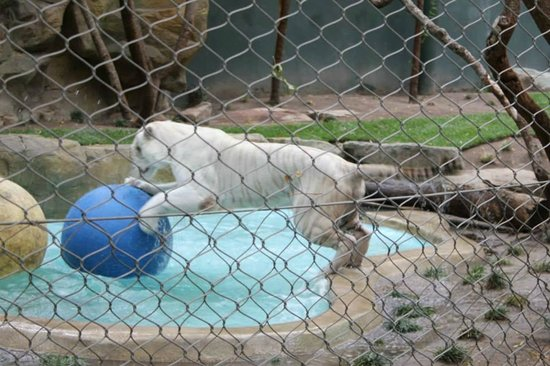 Siegfried & Roy's Secret Garden and Dolphin Habitat: White tiger playing amazing