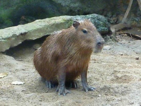 CosmoCaixa Barcelona : Capibara
