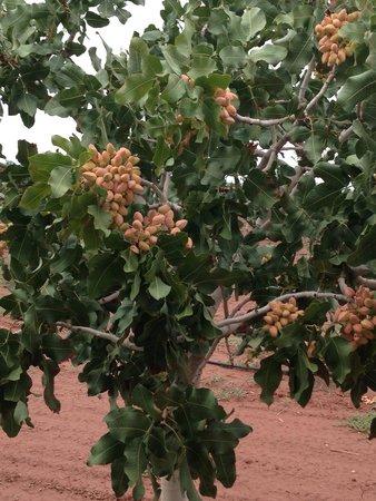 McGinn's Pistachio Tree Ranch : Up close