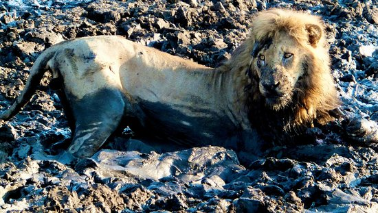 Honeyguide Tented Safari Camps: The lions made a kill in the mud.