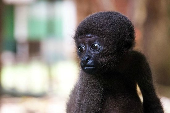 Amazon Tupana Lodge: Baby Monkey