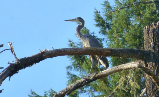 Morrisons Rogue Wilderness Adventures: One of the many Great Blue Herons we saw