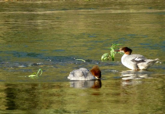 Morrisons Rogue Wilderness Adventures: Mergansers having lunch