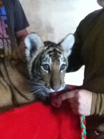 Timbavati Wildlife Park : Baby tiger, you can have your picture taken with.