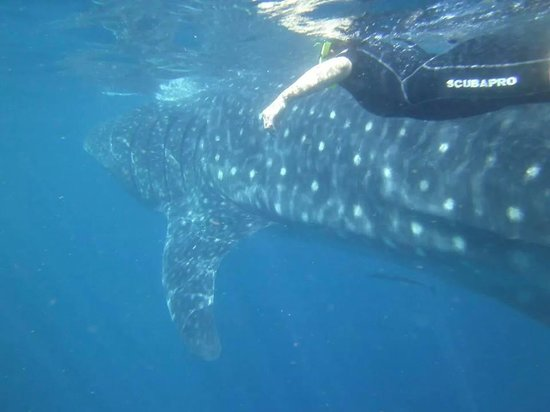 Ceviche Tours: swimming right alongside a whale shark