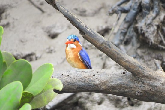 Neptune Paradise Beach Resort & Spa: Martin pecheur dans les mangroves