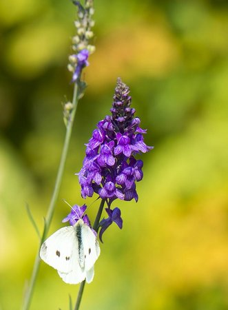 Connie Hansen Garden Conservancy: Butterfly