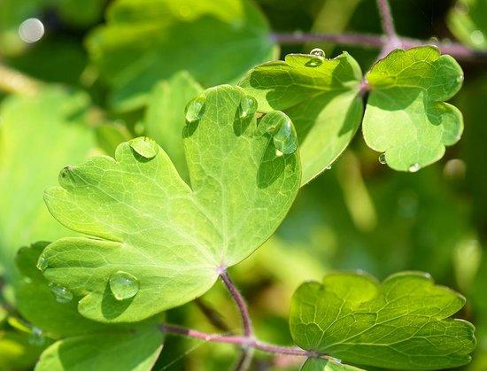 Connie Hansen Garden Conservancy: Droplets on leaves