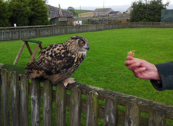 Yorkshire Dales Falconry and Conservation Centre: Eddie, Eagle Owl